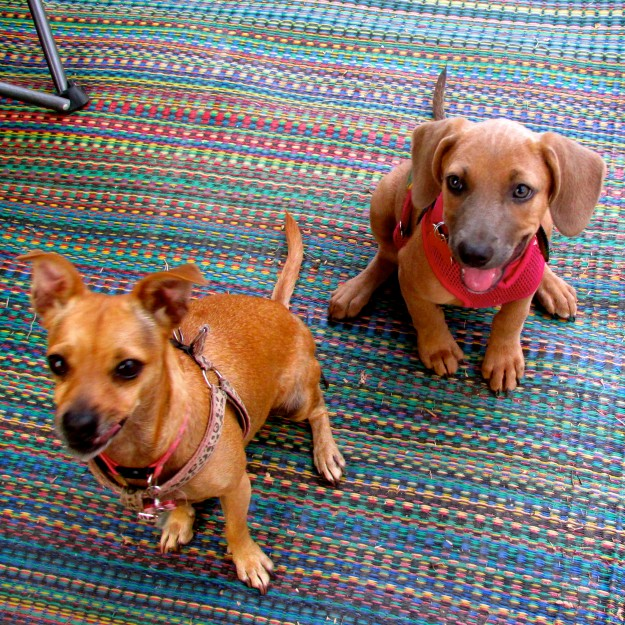 I have to give Maya credit, she had learnt how to sit for treats super fast. Here we are waiting for our T-bonz.  Yumma!