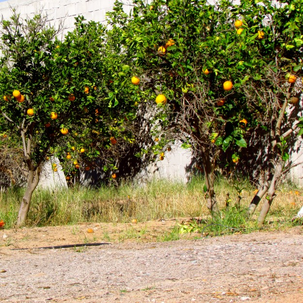Behind our parking lot campsite were all these orange trees! It smelled awesome.